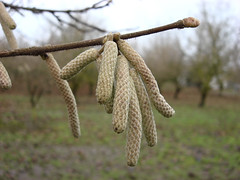 3255 filbert catkin epsilon (growing hazelnuts) Tags: filbert orchards