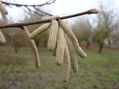 3255 filbert catkin epsilon (growing hazelnuts) Tags: filbert orchards