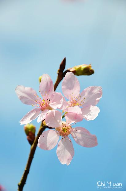 2012陽明山花季23.jpg