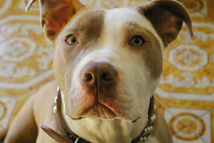 The Pit (judo_dad1953) Tags: blue dog pet puppy canine pitbull bluenose