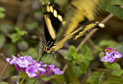 Yellow Swallowtail Feeding Fluttering (Steven Sobel) Tags: flowers macro closeup butterfly bug insect small tiny yellowswallowtail fz150