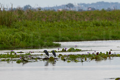 Black Egret (robsall) Tags: africa bird heron nature birds animal animals wildlife aves ave swamp wetlands uganda egret herons wetland egrets wildlifephotography blackheron egrettaardesiaca blackegret centralregion mabambaswamp blackherons robsall mabambabaywetland blackegrets