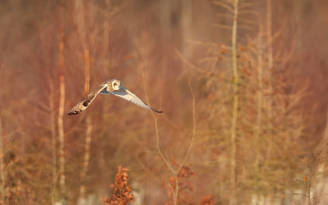Short-eared Owl hunting at sunset