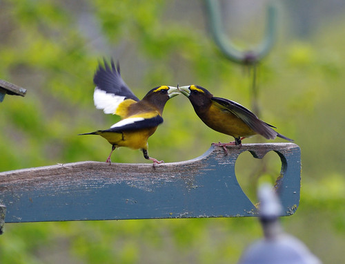 Evening Grosbeak - Home Feeder
