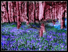 Blue bell wood after Hockney (philwirks) Tags: wood blue abstract colour public bluebells woodland interesting woods colours derbyshire inversion bluebell picnik myfavs flipped prismatic philrichards wirksworth oddpics cooliris pittywood somethingblueinmylife yourbestphotography show08 flickrinfullcolor unlimitedphotos philwirks