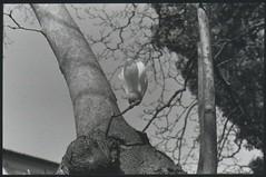 . (AnalogicLeavesBeard) Tags: bw flower tree blackwhite pisa botanico magnolia fiore albero yashica analogic orto