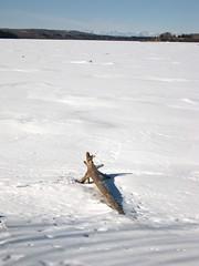 Frozen Glenmore Reservoir, with the Rockies (benlarhome) Tags: snow canada calgary ice water rockies driftwood alberta rockymountain yyc glenmorereservoir benlarhome