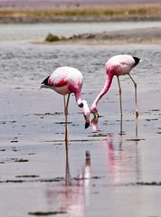 Chile   Cejar Salt Flats and Lagoon-22 (jonathan hood www.glancingshots.london) Tags: flamingos atacamadesert satflats salardetarasalardeaqquascalentes
