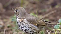 Song Thrush (Turdus philomelos) (Panayotis1) Tags: nature birds aves greece animalia turdus songthrush passeriformes turdusphilomelos turdidae chordata  canonef400mmf56lusm     kenkopro300afdgx14x chimaros