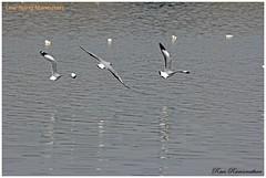 Low level flight-FB (Ravi Ramanathan) Tags: gull aquaticbird brownheadedgull birdsofbhigwan