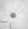 A simple little daisy...... (MaggyMorrissey) Tags: white flower macro daisy delicate simple subtle