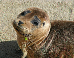 Help Me . . . (Sandra Leidholdt) Tags: california wild usa beach animals america us sand sad wildlife sealife lajolla aquatic pacificbeach hook sealion mammals pathetic unfortunate earthday misfortune fishhook woeful fishingequipment fishinggear babysealion fishline sandraleidholdt wildlifeprotection saariysqualitypictures youngsealions sandyleidholdt