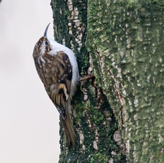 TREECREEPER AT STRUMPSHAW FEN (jdoakey) Tags: