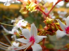 Flower (saurabhshuv) Tags: white flower love innocent dschx100v
