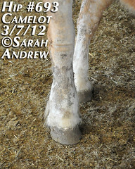 Hip #693 (Rock and Racehorses) Tags: amish belgian camelot draft workhorse feedlot ska0757