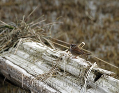 Song Sparrow (K D Photos) Tags: bird beach nature bc wildlife richmond driftwood sparrow marsh steveston garrypointpark songsparrow