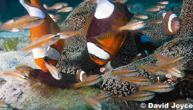 Panda Clownfish tending eggs on Evolutions House Reef, Malapscua Island, The Philippines   www.evolution.com.ph