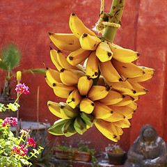 Platano Manzano (uteart) Tags: garden mexico banana patio hanging homegrown ripening penka utehagen uteart platanomanzano asquaresuperstarstemple bananamanzano