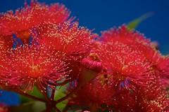 Red (Deb Jones1) Tags: flowers red flower macro nature floral beauty canon garden gum botanical outdoors flora australian australia blooms gumtree gumflowers flickrduel debjones1