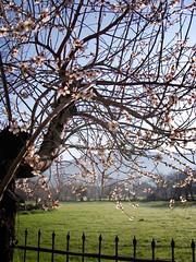 Almond tree (VillaRhapsody) Tags: flowers tree field rural spring backyard view blossom growing kayaky challengeyouwinner
