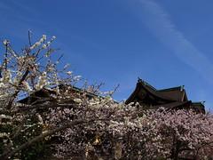 R0013754 (Hiro - KokoroPhoto) Tags: japan temple japanese kyoto shrine plum   apricot kitano ume  2012 6mm    japaneseapricot