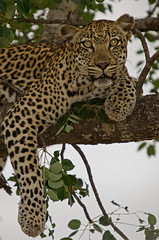 Leopard in a Tree (accentu_8) Tags: southafrica african leopard gamereserve timbivati flickrbigcats