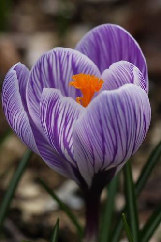 早春のクロッカス