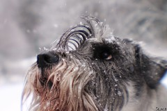 "14/52 - ""Winter, is that you? I thought you had left me."" (AstridSofi) Tags: blue dog snow eye lensbaby canon spring focus schnauzer perro hund koer sobaka 52weeksfordogs"