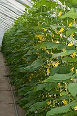 Cucumber flowers (Erlend Myhren) Tags: food flower norway fruit norge cucumber vegetable growing kjøkken grimstad gartneri hesnes nikond300s