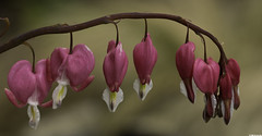Coeur de marie (Dicentra spectabilis) (Le No) Tags: flower fleur 31 dicentraspectabilis hautegaronne midipyrnes coeurdemarie stlon lauragais