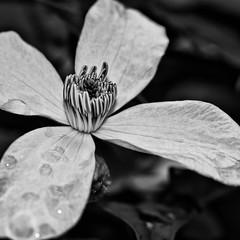Clematis BW (efgepe) Tags: bw blackwhite pflanzen clematis mai schwarzweiss garten 2012 niksoftware silverefexpro