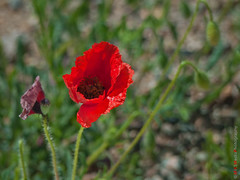 Andalusia - and poppies are everywhere! (Kasia Sokulska (KasiaBasic)) Tags: mountains macro spain poppy andalusia