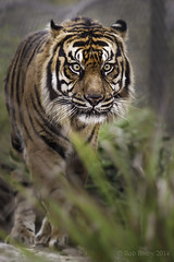 JaxZoo_14-3-4-7592-2 (RobBixbyPhotography) Tags: animals zoo tiger jacksonville berani