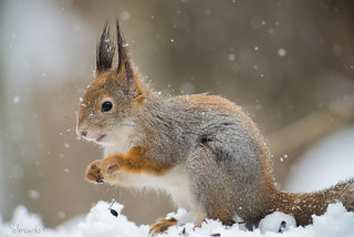Squirrel in a snowfall