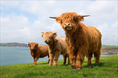 Highland Cattle TMP_5226 (Tony Murphy) Tags: