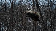 Porcupine 2 (benlarhome) Tags: park canada calgary nature animal walking path walk wildlife trail alberta prairie grassland pathway nosehill urbanpark