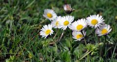 Blten im April 2014 (borntobewild1946) Tags: blossoms april nrw nordrheinwestfalen rheinland frhling blten 2014 copyrightbyberndloosborntobewild1946