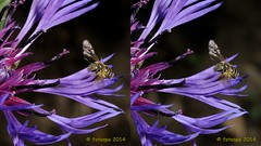 1936_3d (fotoopa) Tags: macro closeup inflight 3d crosseye crosseyed c highspeed crossview flyinginsects insectsinflight fotoopa 3dinsects crosseyedphotography flyinghighspeedinsects multiplelaserdetection fotosvliegendeinsecten 3dinsectsinflight