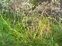 Asparagus officinalis 1 (heinvanwinkel) Tags: 2003 nederland asparagus mei duinen wassenaar asperge officinalis magnoliidae asparagaceae spermatophyta tracheophyta lilianae euphyllophyta asparagineae iridales
