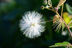White powder puff tree (qooh88) Tags: white tree ball evergreen fabaceae calliandra  smalltree  mimosoideae    whitepowderpufftree   calliandraportoricensis