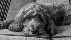 Project 366 - 25th May 2016 (Rich Walker75) Tags: blackandwhite dog pet pets dogs monochrome animal animals canon blackwhite photoaday cockapoo cockapoos project366 eos100d