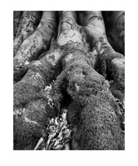 Roots (MattWalkleyPhotography) Tags: wood blackandwhite tree nature leaves landscape moss fuji details roots somerset westonsupermare 16mm14