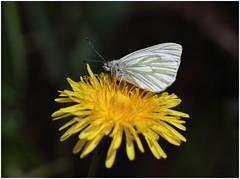 Green - veined White (jenny*jones) Tags: flower macro canon butterfly feeding meadow dandelion lepidoptera westyorkshire greenveinedwhite pieridae pierisnapi canon100mm28 0832 gtbritain canon70d may2016