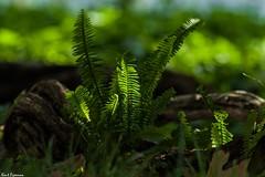 Sort of A Flower Friday Image (Kent Freeman) Tags: ed pentax disneyland 300mm da sdm if smc ricoh f4 k3 pentaxda