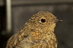 IMG_8943 (Sula Riedlinger) Tags: robin robinerithacusrubecula erithacusrubecula urbanwildlife londonwildlife ukbirding ukwildlife ukbirds uknature bird birds birdwatching