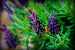 The Times They Are A-Changin... (scorpion (13)) Tags: plant flower color art nature insect french photo blossoms lavender bee creativ