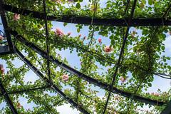 2016 Rose Garden (shinichiro*@OSAKA) Tags: flower spring may jp  yokohama kanagawa crazyshin pergola 2016    planart1450zf nikond4s  20160510ds31916
