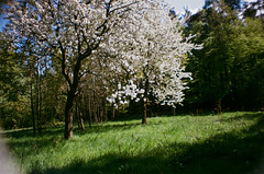 full bloom (me*lony) Tags: film analog spring lomography forrest blossom czechrepublic bohemia fullbloom lasardina