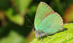 Green Hairstreak 240516 (10) (Richard Collier - Wildlife and Travel Photography) Tags: macro wildlife butterflies insects naturalhistory greenfritillary
