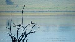 African Fish Eagle (ChrMous) Tags: winter lake birds animals southafrica meer 2016 africanfisheagle haliaeetusvocifer visarend afrikaansezeearend pilanesbergnp sonyslta99 tamronsp150600mmf563